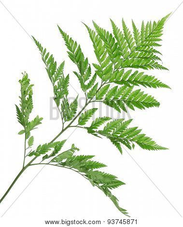 Green fern leaf isolated on white