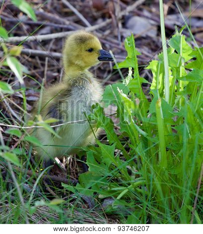 Cute Cackling Goose Chick