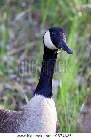 Romantic Goose