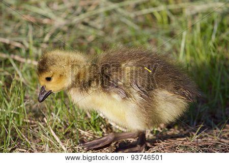 Cute Cackling Goose