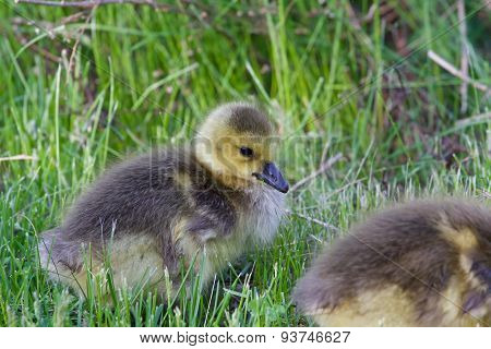 Beautiful Chick Is Eating The Grass