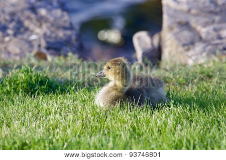 The Young Goose Is Laying On The Green Grass