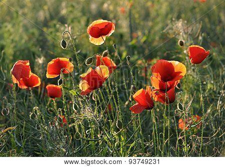 flowery meadows - poppies