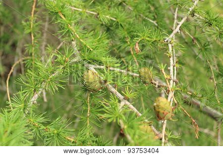Cones On Coniferous Tree