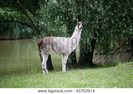 Llamas Graze By The Riverside Rural Scene