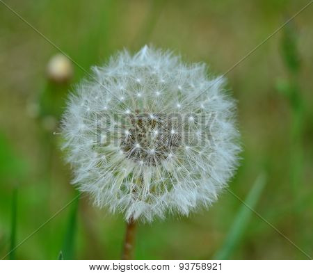 View On A Dandelion Flower, South Bohemia