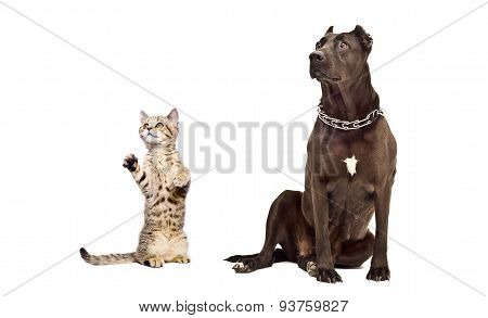 Staffordshire Terrier and frisky kitten Scottish Straight