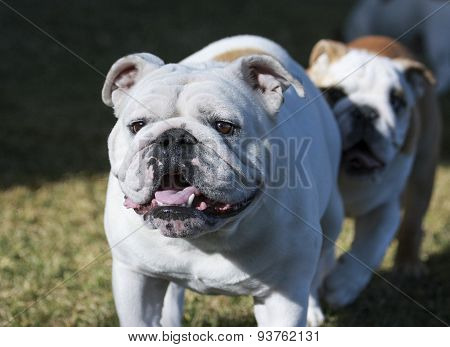 Bulldog at the park followed by a puppy