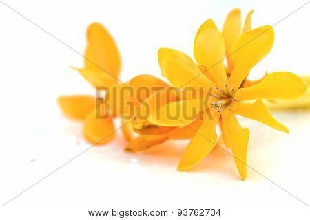 Yellow Gardenia Flower, Gardenia Carinata Wallich