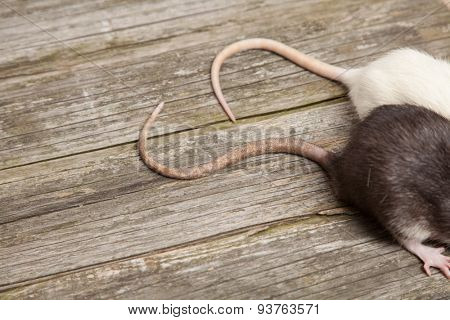 Tails of rats on a wooden table.