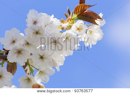Pretty White Spring Blossom On Tree
