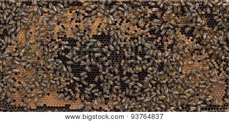 Mature Frame Of Brood And Honey Bees