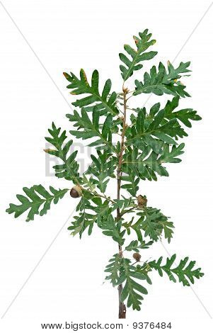 Cork Tree Brach With Green Leaves And Acorns