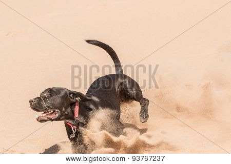 Happy black dog running in the sand