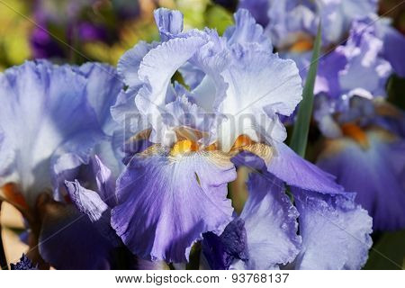beautiful flower iris closeup. blue, orange, purple