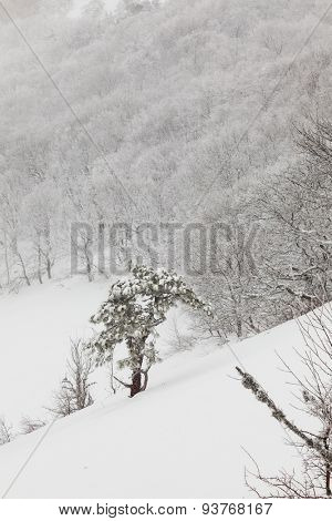 snow-covered pine tree in a forest in spray test mountains