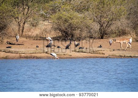 Birds And Crocodiles On The Bank Of Dam With Impala Approaching