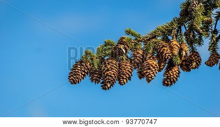 Pine Cone On A Branch