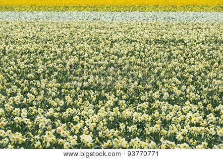 Daffodil On Field
