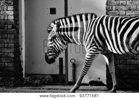 Zebra At Zoo