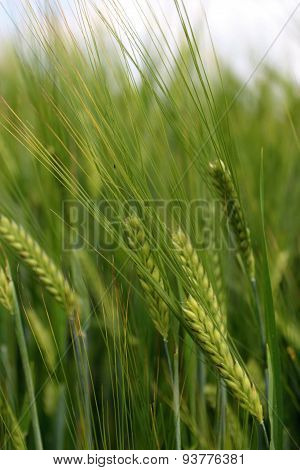 Green ripening wheat on a field.