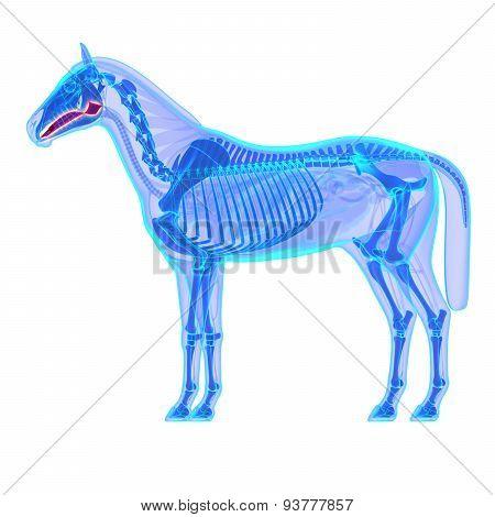 Horse Tongue - Horse Equus Anatomy - Isolated On White