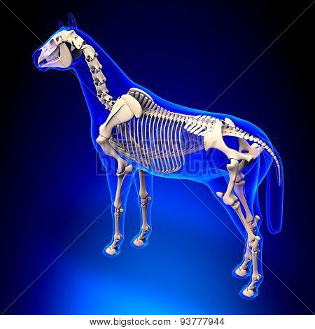 Horse Skeleton - Horse Equus Anatomy - On Blue Background