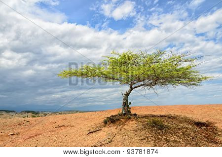 Single Green Tree In Desert Under Bright Cloudy Sky