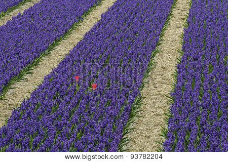 Rows Of Violet Hyacith With Two Red Tulips