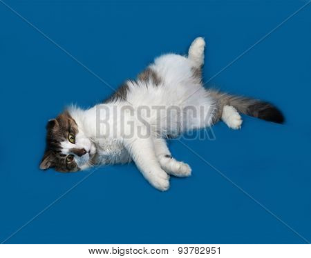 White And Fluffy Tabby Cat Lies On Blue