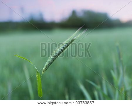wheat on field in evening light