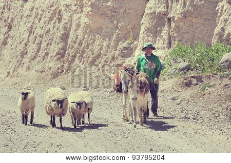 Shepherd With Sheeps And Mules.