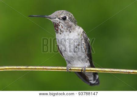 Annas Hummingbird (calypte Anna)