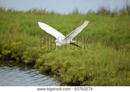 White crane in flight