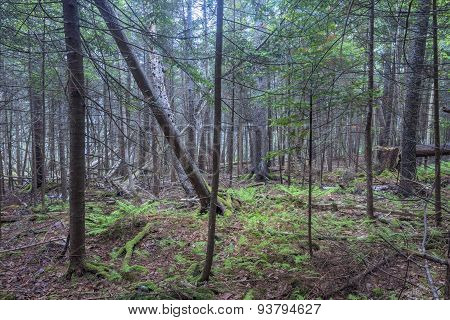 Dense Wilderness Forest In Coastal Maine