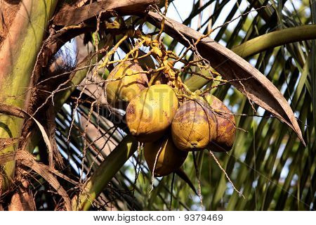 Coconut Tree