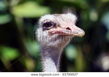 Close Up Of An Ostrich Face
