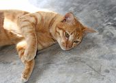 pic of southeast  - Red Cat Oriental breeds Southeast Asia - JPG