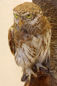 picture of taxidermy  - Pygmy owl taxidermy objects animals birds exhibit - JPG