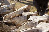 pic of cow skeleton  - cow skulls lying on the animal furs - JPG