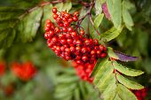 picture of ashes  - Mountain ash branch with berries - JPG