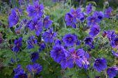 pic of geranium  - Group of dark blue cranesbill (geranium) flowers in a garden ** Note: Shallow depth of field - JPG
