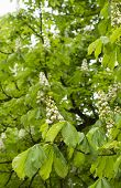 stock photo of chestnut horse  - Horse chestnut is blooming in a park - JPG