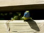 foto of lizards  - lizard with a tick near his eye - JPG
