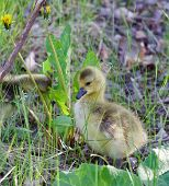 stock photo of mother goose  - Young geese are staying on the grass - JPG