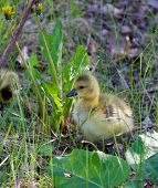picture of mother goose  - Moving through the grass can be not easy - JPG