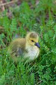 foto of mother goose  - Cute chick of the cackling geese on the grass - JPG