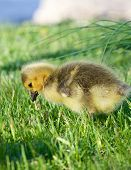 foto of mother goose  - Little goose is eating the green grass - JPG