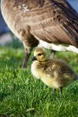 picture of mother goose  - Serious child - JPG