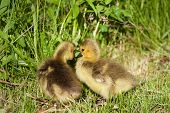 stock photo of mother goose  - Young chicks of the cackling geese are kissing - JPG